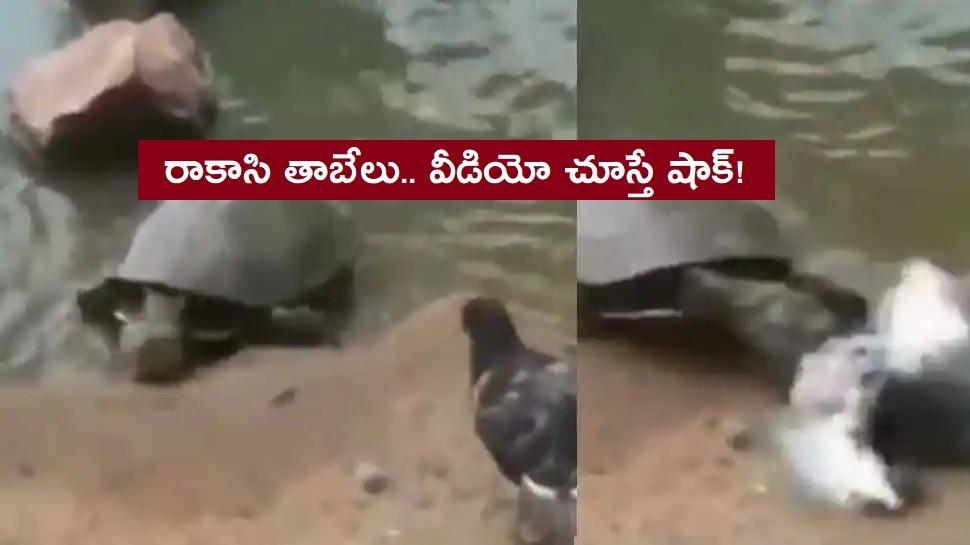 Turtle Kills Pigeon: పావురాన్ని క్షణాల్లో చంపిన తాబేలు.. వైరల్ వీడియో