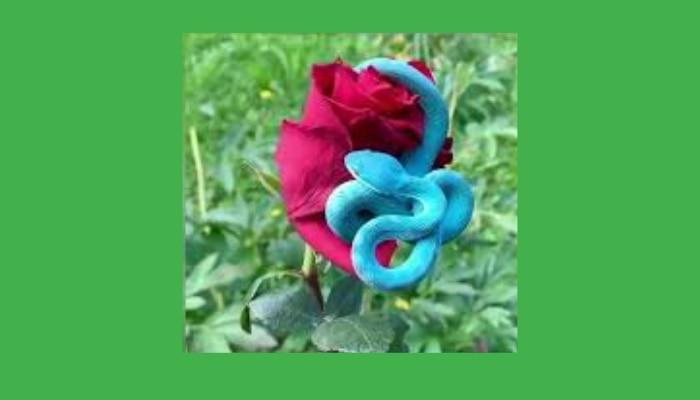 Blue Snake: ఎంత ముద్దుగా ఉందో..అంత విషం కూడా