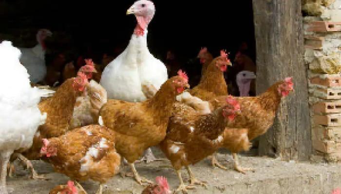 Bird Flu Scare: హర్యానాలో 10 రోజుల్లో 4 లక్షల పక్షుల మరణం.. మరిన్ని భయపెట్టే నిజాలి